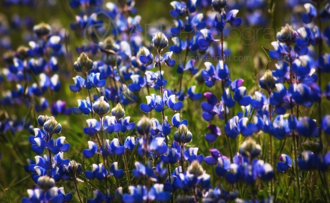 A spring meadow of California lupine,