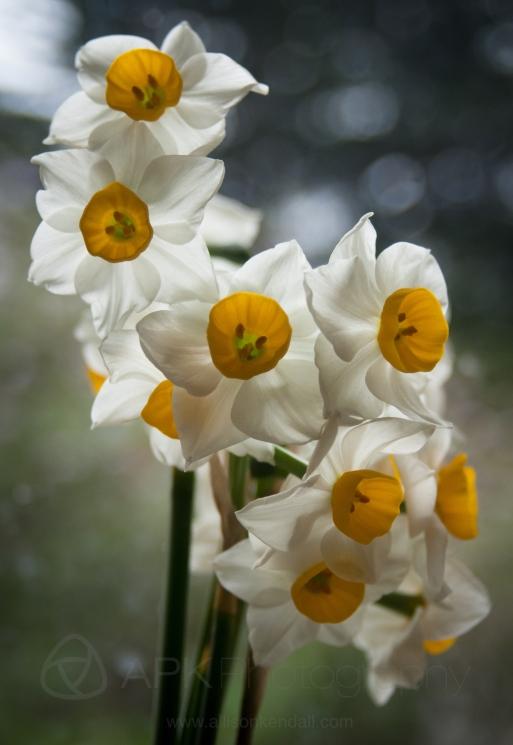 Fresh daffodils on a rainy day