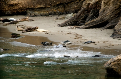 Pacific harbor seals, pups (Phoca vitulina)