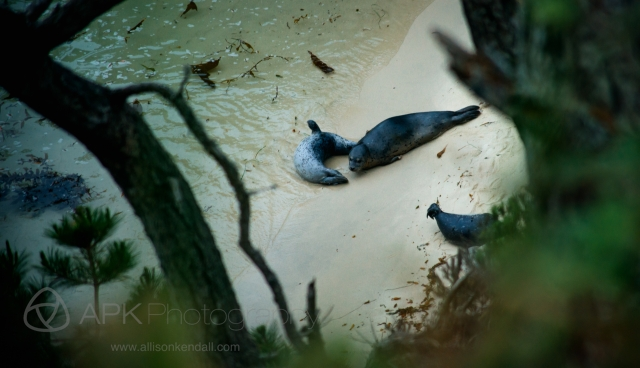 Pacific harbor seals, pups (Phoca vitulina)