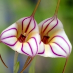 Masdevallia Orchid Pair