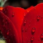 Scarlet poppy flower and raindrops, macro