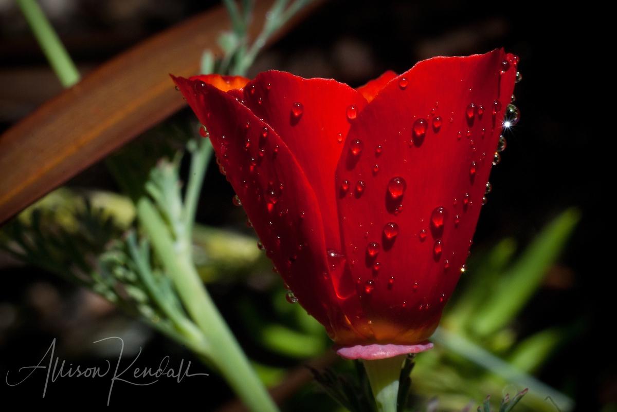 Scarlet poppy, waterdrops