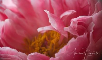 Detail of pink peony petals