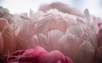 Macro view of delicate pink and white peony flower petals
