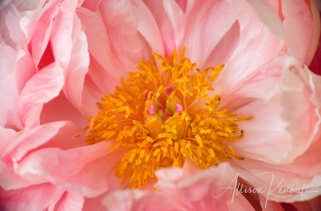 Detail of the yellow center of a pink peony flower