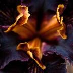Rare Iris Series
