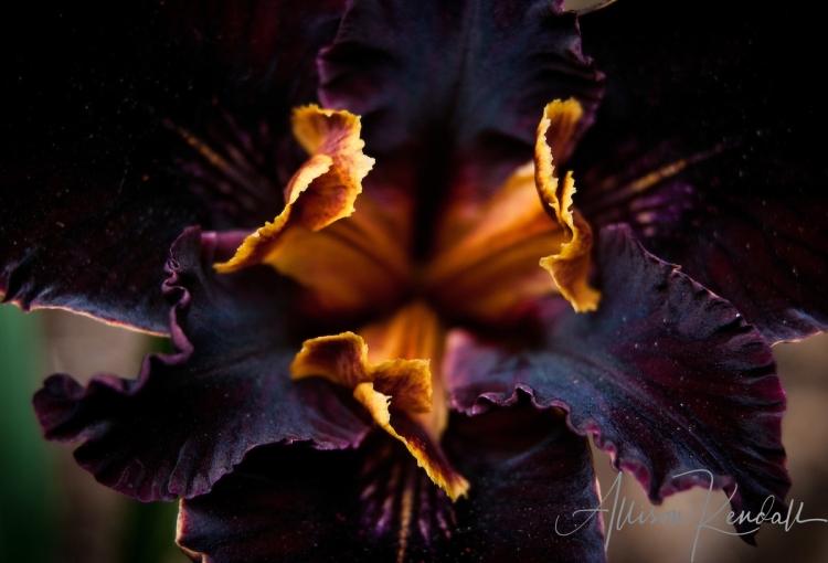 Native iris, detail