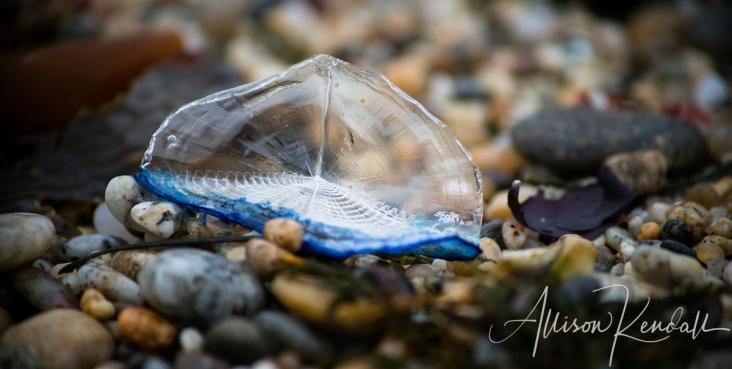 Velella velella stranded along the Pacific coast, on the beaches of Monterey and Carmel, California