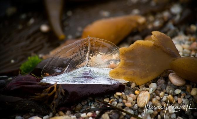 Velella velella stranding on the beaches of Carmel, California