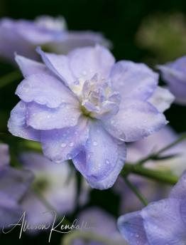 WM_Delphinium_rain-8952
