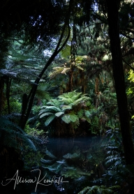 Deep in the New Zealand jungle of Puekura Park, New Plymouth, tree ferns and forest reflect in still water.