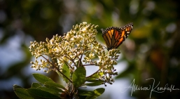 A migrating monarch butterfly feeds in the forests of Big Sur, California