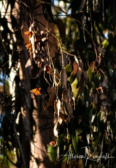 Migrating monarch butterflies gather in the forests of Pacific Grove, California