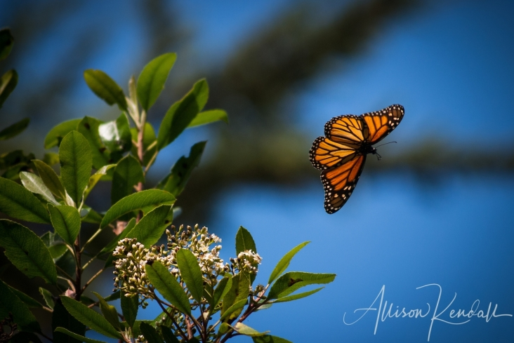 WM_monarchbutterfly_inflight