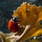 Ladybug Light